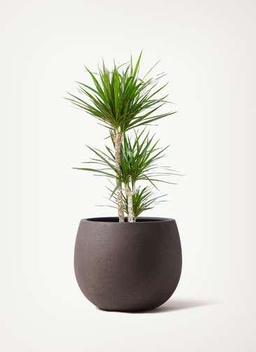 観葉植物 ドラセナ コンシンネ 7号 寄せ テラニアス ローバルーン アンティーク ブラウン 付き