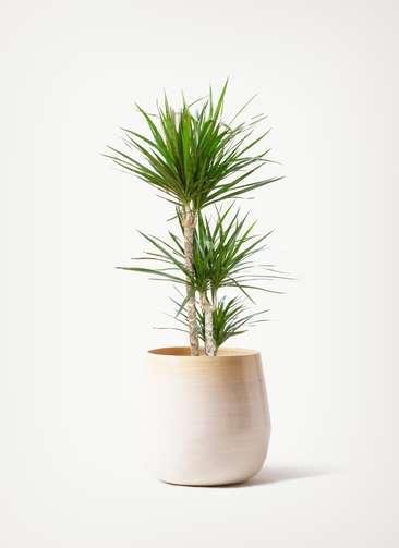 観葉植物 ドラセナ コンシンネ 7号 寄せ ササール 白 付き