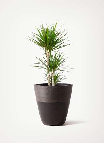 観葉植物 ドラセナ コンシンネ 7号 寄せ ジュピター 黒 付き