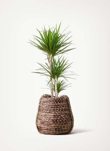 観葉植物 ドラセナ コンシンネ 7号 寄せ リゲル 茶 付き
