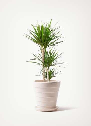 観葉植物 ドラセナ コンシンネ 7号 寄せ サバトリア 白 付き