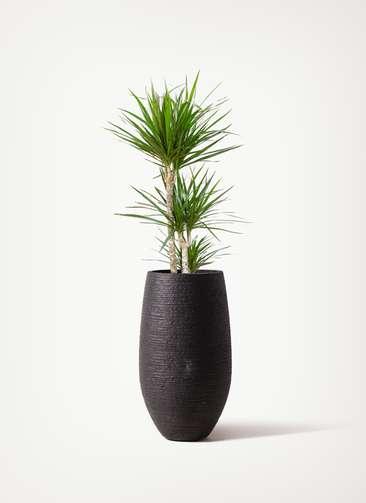 観葉植物 ドラセナ コンシンネ 7号 寄せ フォンティーヌトール 黒 付き