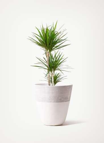 観葉植物 ドラセナ コンシンネ 7号 寄せ ジュピター 白 付き