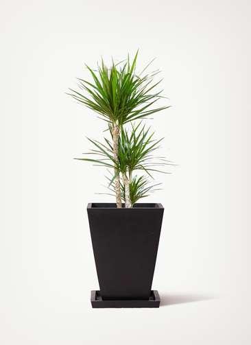 観葉植物 ドラセナ コンシンネ 7号 寄せ パウダーストーン スクエア 黒 付き