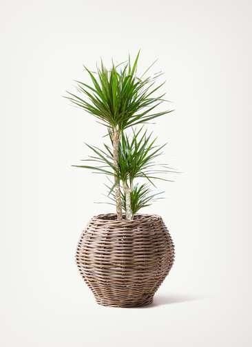 観葉植物 ドラセナ コンシンネ 7号 グレイラタン 付き