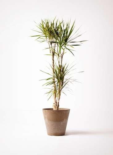 観葉植物 ドラセナ コンシンネ 8号 アートストーン ラウンド ベージュ 付き
