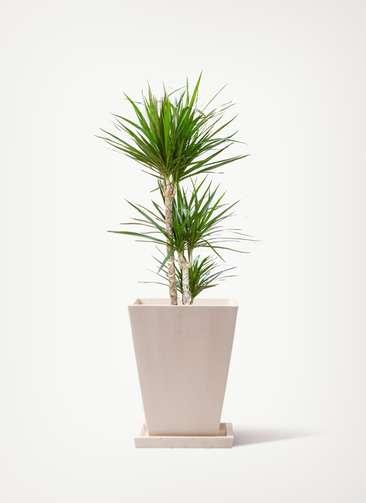観葉植物 ドラセナ コンシンネ 7号 パウダーストーン 白 付き