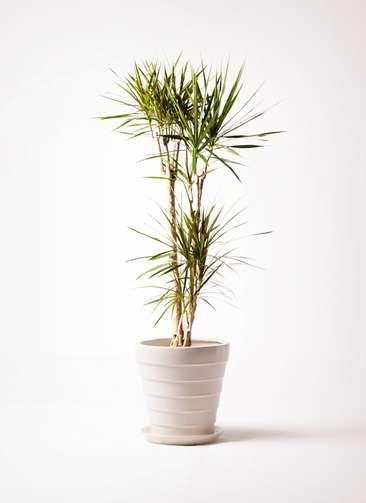 観葉植物 ドラセナ コンシンネ 8号 サバトリア 白 付き