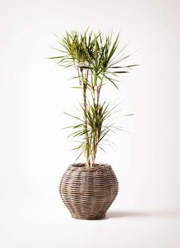 観葉植物 ドラセナ コンシンネ 8号 グレイラタン 付き