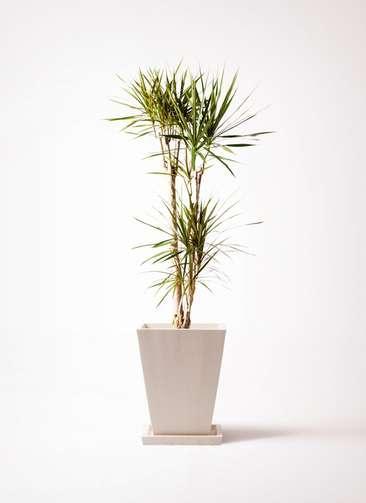 観葉植物 ドラセナ コンシンネ 8号 パウダーストーン 白 付き