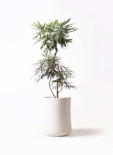 観葉植物 グリーンアラレア 8号 曲り バスク ミドル ホワイト 付き