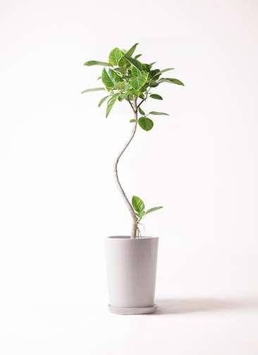 観葉植物 フィカス アルテシーマ 8号 曲り LO ラウンド 付き