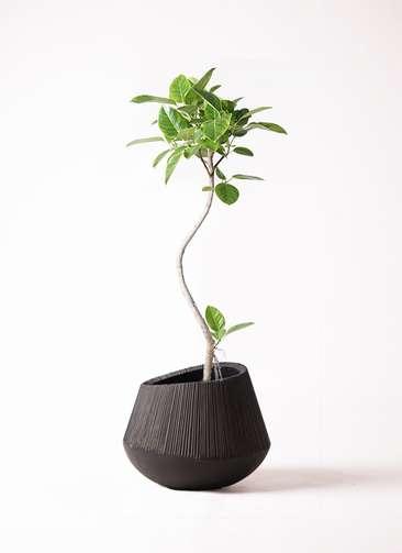 観葉植物 フィカス アルテシーマ 8号 曲り エディラウンド 黒 付き