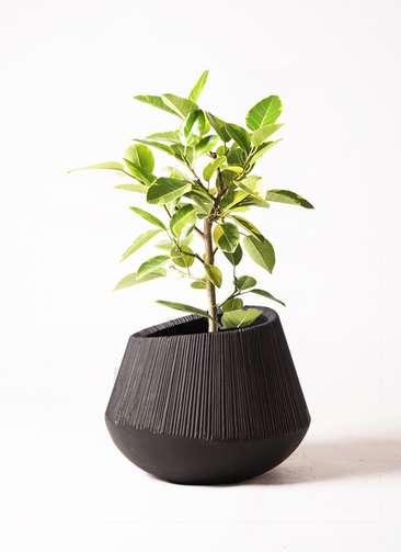 観葉植物 フィカス アルテシーマ 7号 ストレート エディラウンド 黒 付き