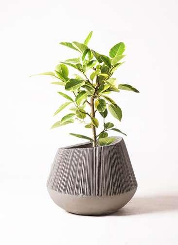 観葉植物 フィカス アルテシーマ 7号 ストレート エディラウンド グレイ 付き
