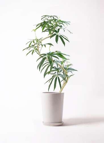 観葉植物 シェフレラ アンガスティフォリア 8号 曲り LO ラウンド 付き