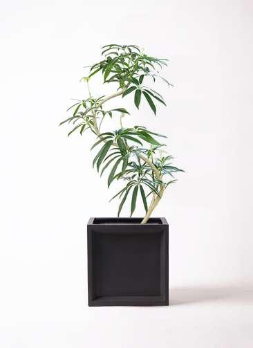 観葉植物 シェフレラ アンガスティフォリア 8号 曲り ブリティッシュキューブ 付き