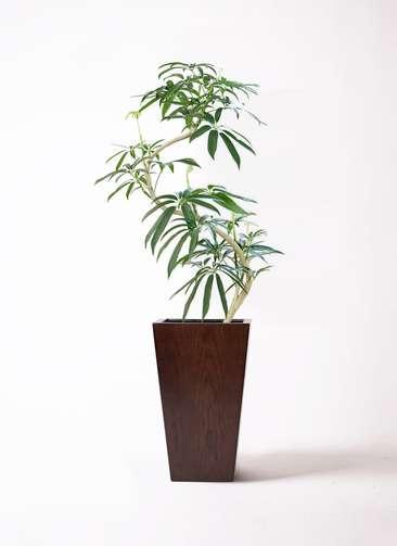 観葉植物 シェフレラ アンガスティフォリア 8号 曲り MOKU スクエア 付き