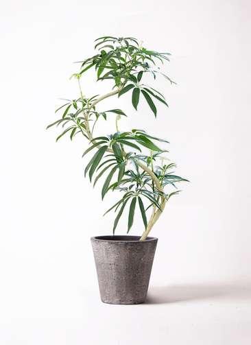 観葉植物 シェフレラ アンガスティフォリア 8号 曲り フォリオソリッド ブラックウォッシュ 付き