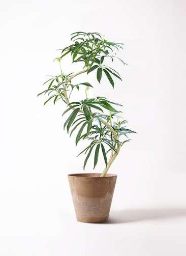 観葉植物 シェフレラ アンガスティフォリア 8号 曲り アートストーン ラウンド ベージュ 付き