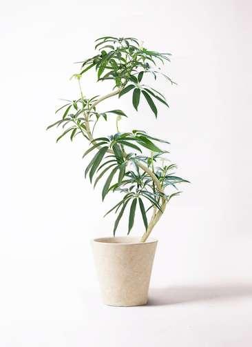 観葉植物 シェフレラ アンガスティフォリア 8号 曲り フォリオソリッド クリーム 付き