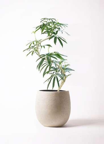 観葉植物 シェフレラ アンガスティフォリア 8号 曲り テラニアス バルーン アンティークホワイト 付き