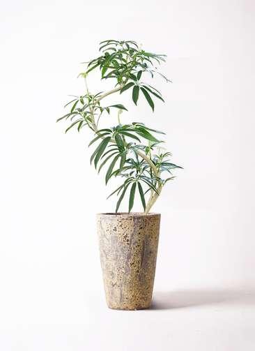 観葉植物 シェフレラ アンガスティフォリア 8号 曲り アトランティス クルーシブル 付き