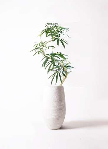 観葉植物 シェフレラ アンガスティフォリア 8号 曲り フォンティーヌトール 白 付き