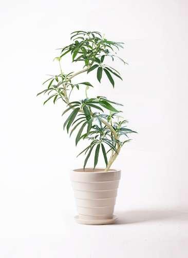観葉植物 シェフレラ アンガスティフォリア 8号 曲り サバトリア 白 付き