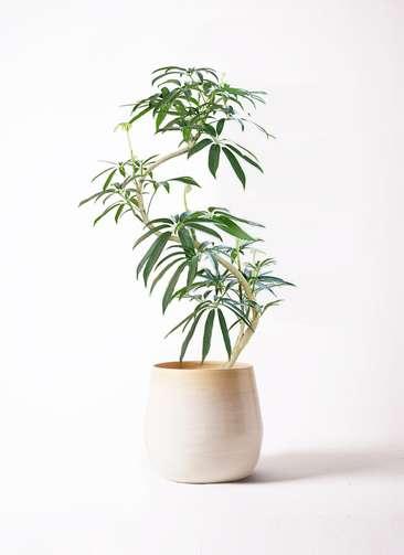 観葉植物 シェフレラ アンガスティフォリア 8号 曲り ササール 白 付き
