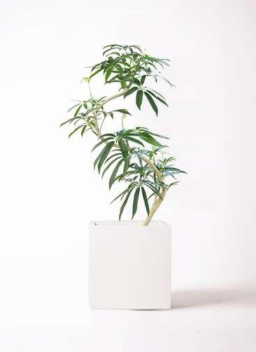 観葉植物 シェフレラ アンガスティフォリア 8号 曲り バスク キューブ 付き