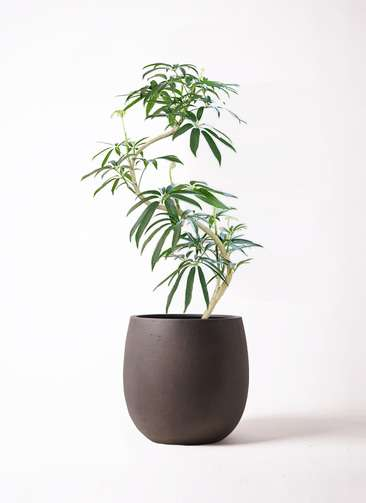 観葉植物 シェフレラ アンガスティフォリア 8号 曲り テラニアス バルーン アンティークブラウン 付き
