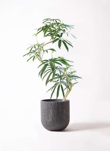 観葉植物 シェフレラ アンガスティフォリア 8号 曲り カルディナダークグレイ 付き