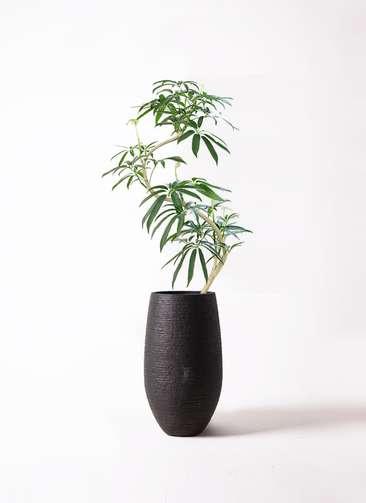 観葉植物 シェフレラ アンガスティフォリア 8号 曲り フォンティーヌトール 黒 付き