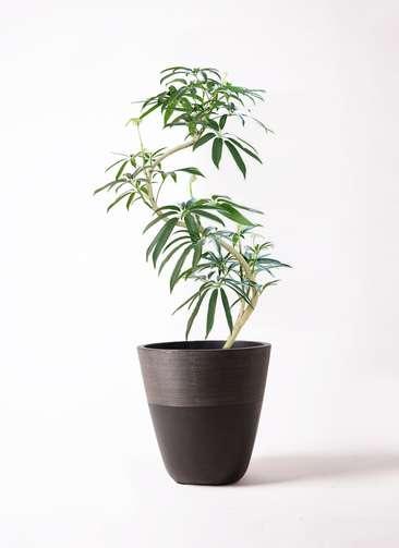 観葉植物 シェフレラ アンガスティフォリア 8号 曲り ジュピター 黒 付き