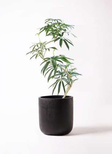 観葉植物 シェフレラ アンガスティフォリア 8号 曲り エルバ 黒 付き
