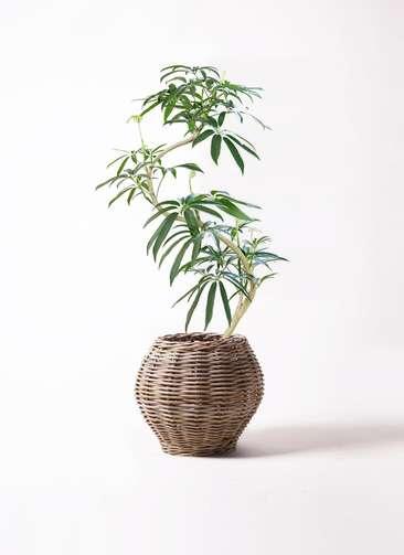 観葉植物 シェフレラ アンガスティフォリア 8号 曲り グレイラタン 付き