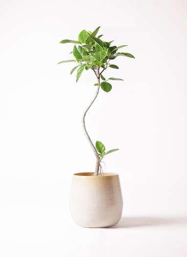 観葉植物 フィカス アルテシーマ 8号 曲り ササール 白 付き