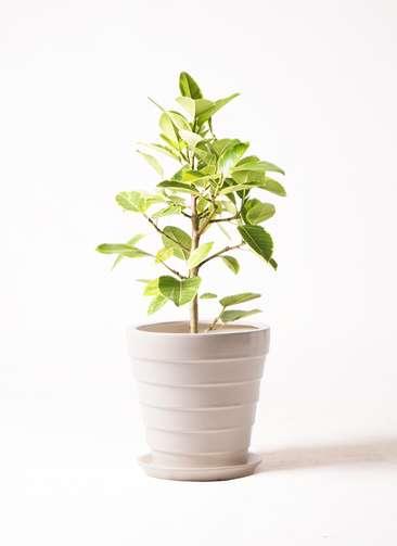 観葉植物 フィカス アルテシーマ 7号 ストレート サバトリア 白 付き
