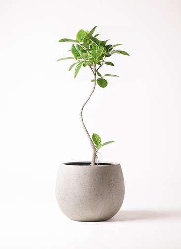 観葉植物 フィカス アルテシーマ 8号 曲り テラニアス ローバルーン アンティークホワイト 付き