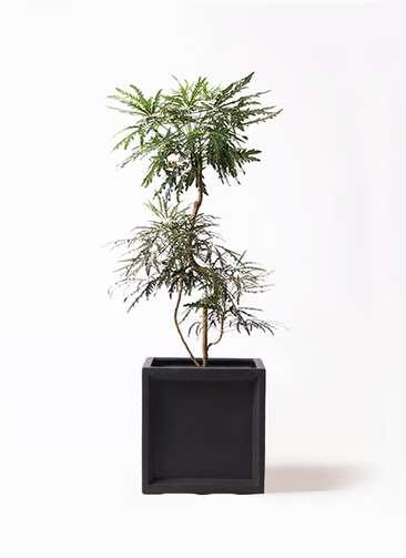 観葉植物 グリーンアラレア 8号 曲り ブリティッシュキューブ 付き