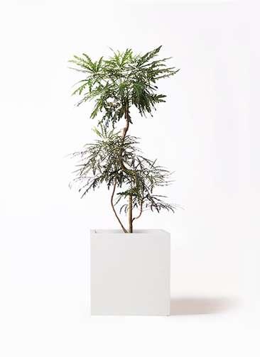 観葉植物 グリーンアラレア 8号 曲り バスク キューブ 付き