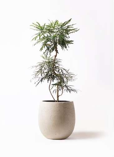 観葉植物 グリーンアラレア 8号 曲り テラニアス バルーン アンティークホワイト 付き