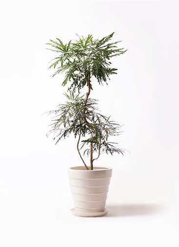 観葉植物 グリーンアラレア 8号 曲り サバトリア 白 付き