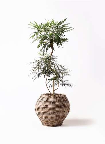 観葉植物 グリーンアラレア 8号 曲り グレイラタン 付き