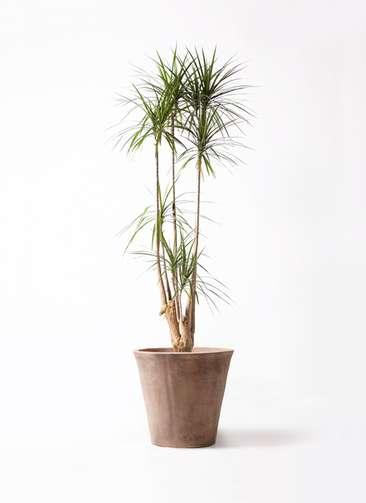 観葉植物 ドラセナ コンシンネ 10号 ルーガ アンティコ ソリッド