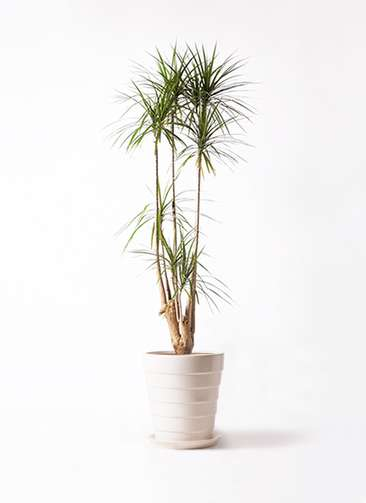 観葉植物 ドラセナ コンシンネ 10号 サバトリア 白