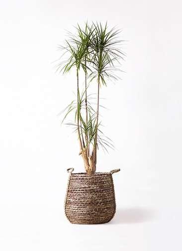 観葉植物 ドラセナ コンシンネ 10号 リゲル 茶