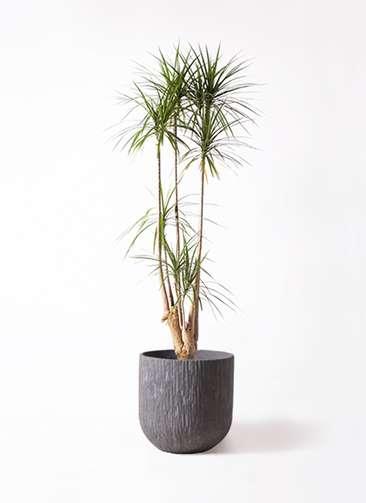 観葉植物 ドラセナ コンシンネ 10号 カルディナダークグレイ