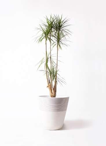観葉植物 ドラセナ コンシンネ 10号 ジュピター 白